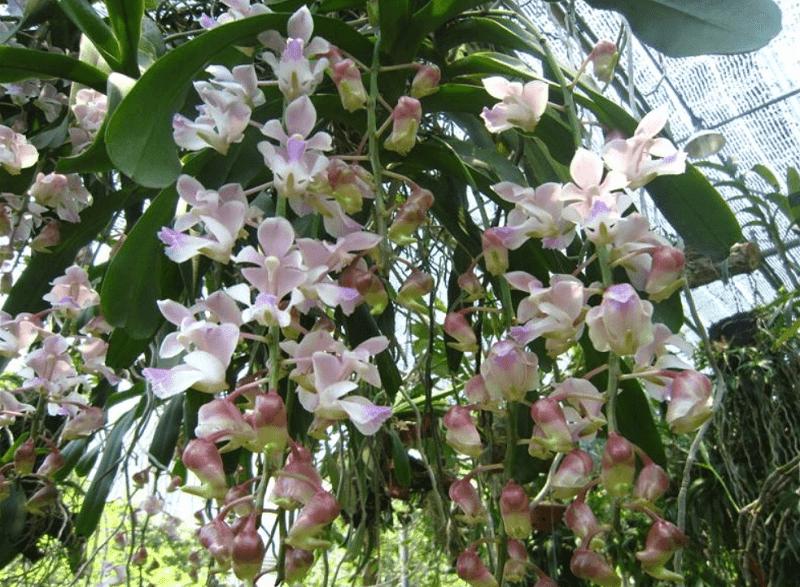 hoa lan tam bảo sắc ra hoa nhiều