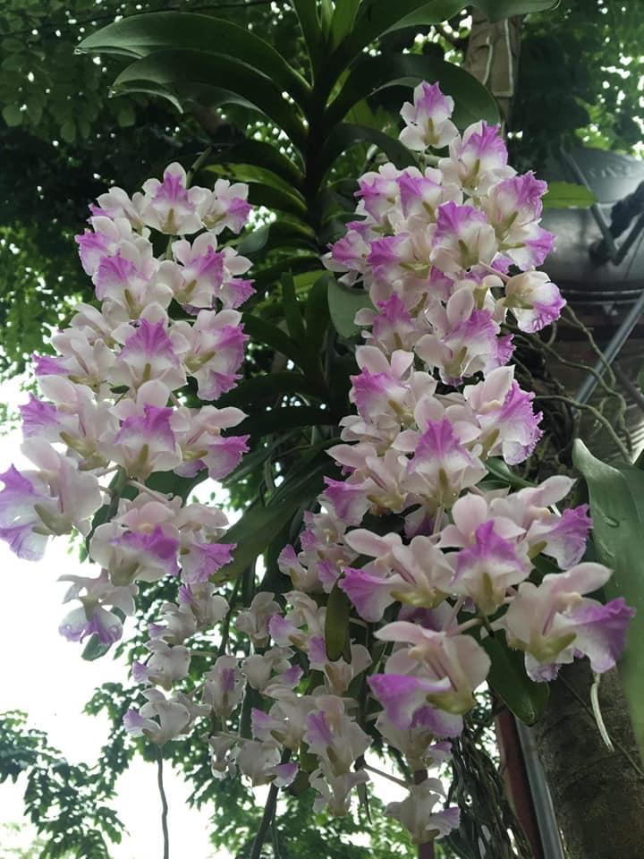 Lan giáng hương tam bảo sắc đẹp mà dễ trồng