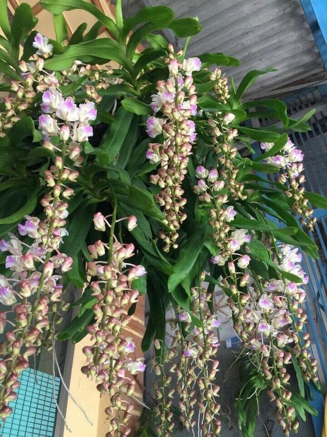 Cách trồng lan tam bảo sắc-đặc điểm-mặt hoa