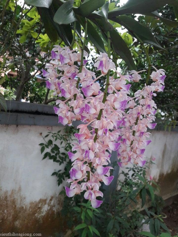 lan tam bảo sắc ra nhiều hoa hơn