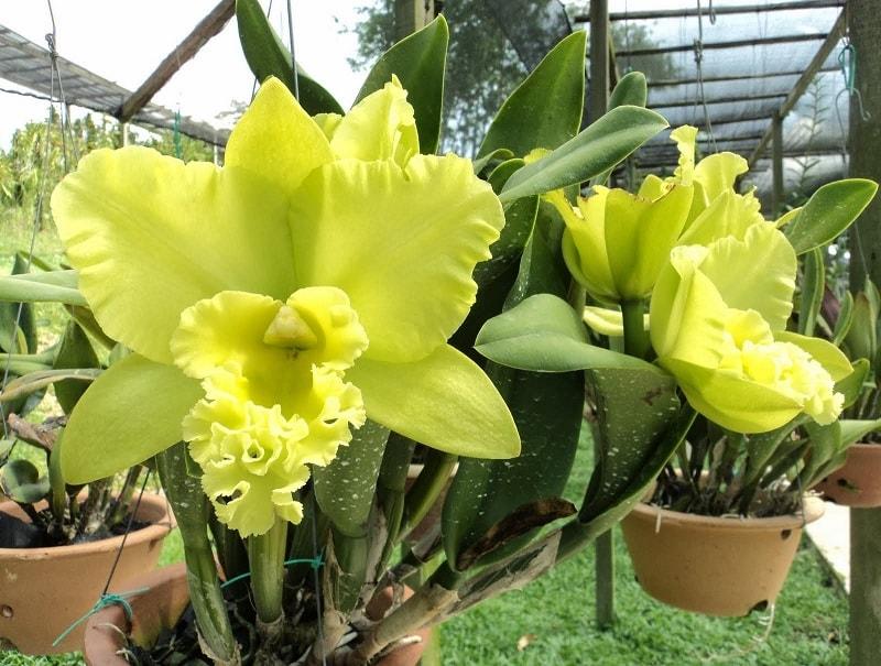 hoa lan cattleya màu vàng