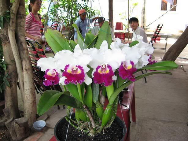Cây hoa lan cattleya