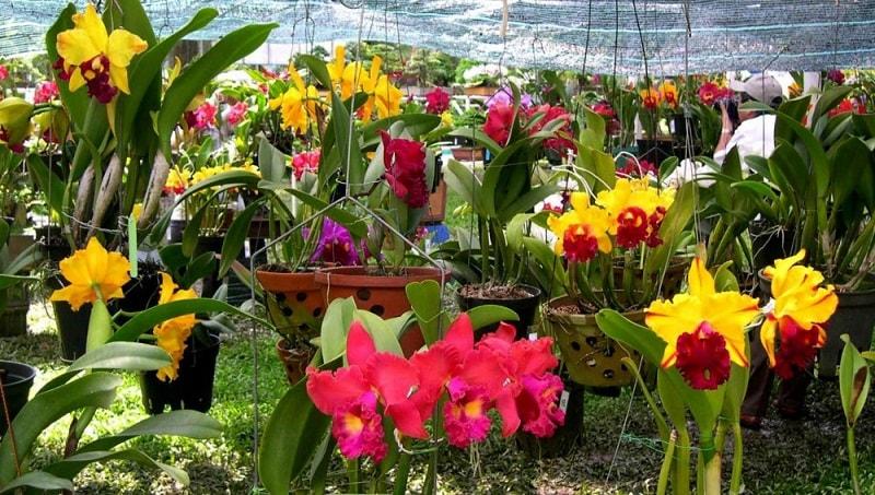 cách trồng lan cattleya ra hoa