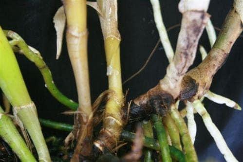 Bệnh héo rễ