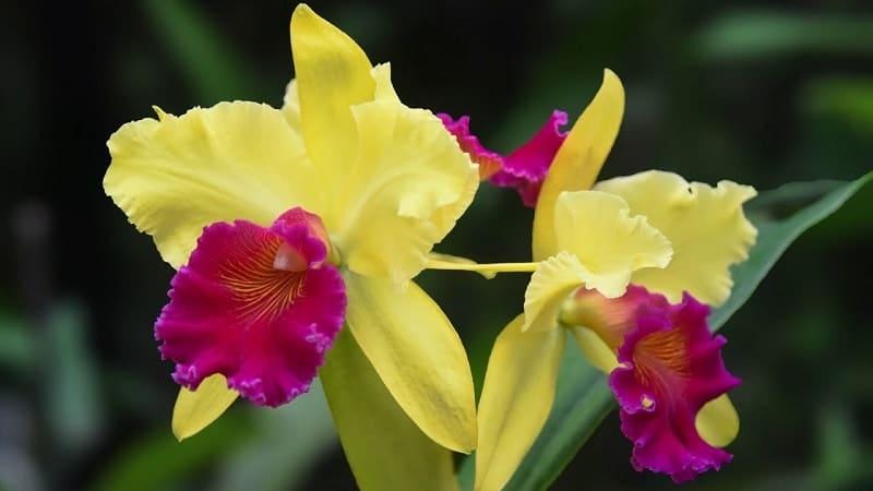 hoa lan cattleya màu vàng đẹp nhất