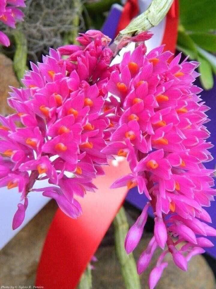 hoa lan báo hỷ khoe sắc