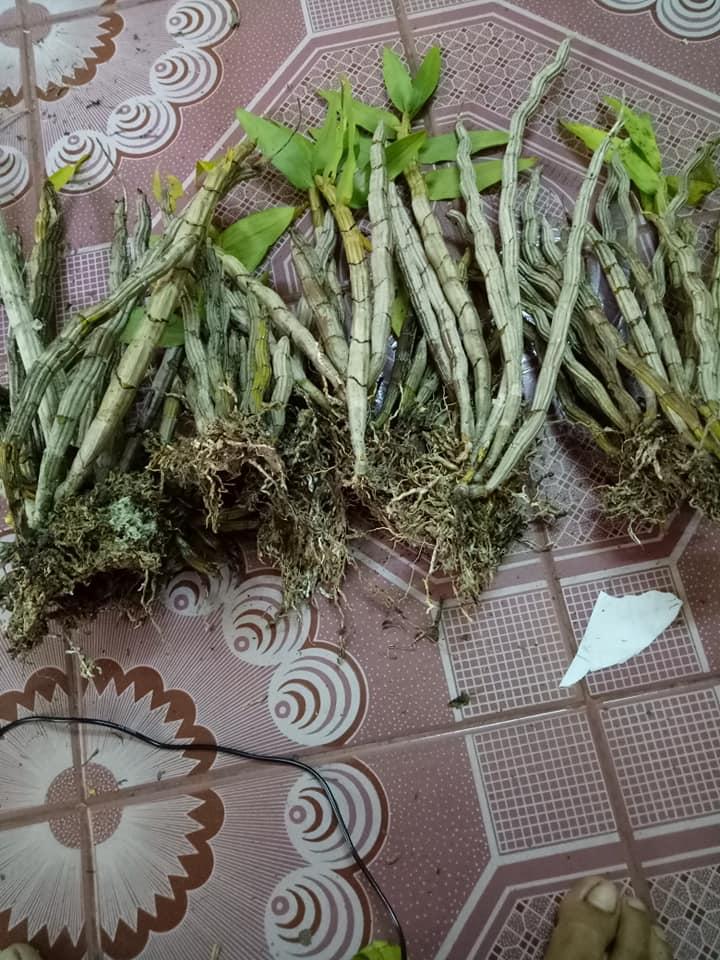 Cách trồng lan hoàng thảo báo hỷ