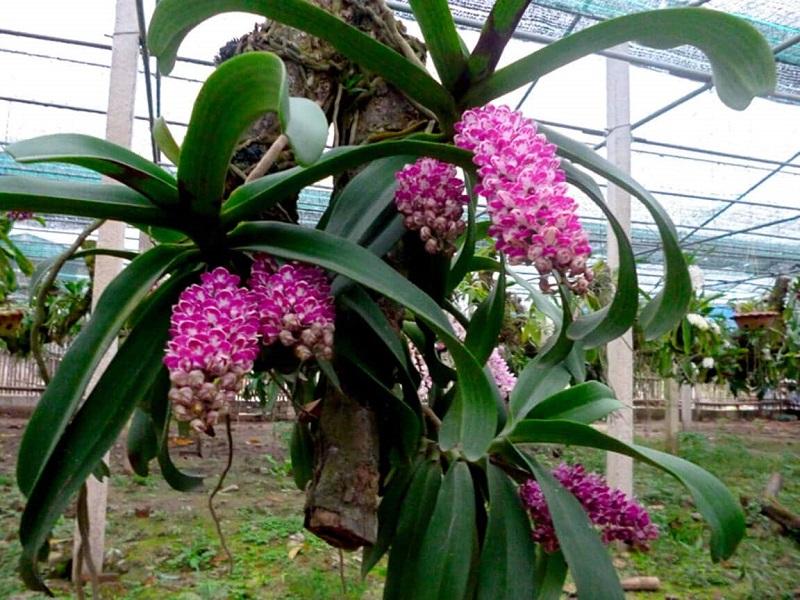 lan đai trâu ra hoa đẹp