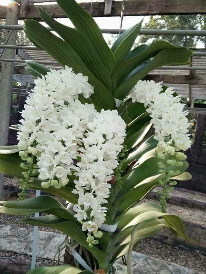 lan đai châu màu trắng nở nhiều hoa