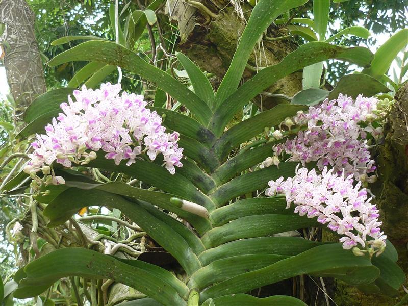 lan đai trâu khỏe mạnh cho ra nhiều hoa