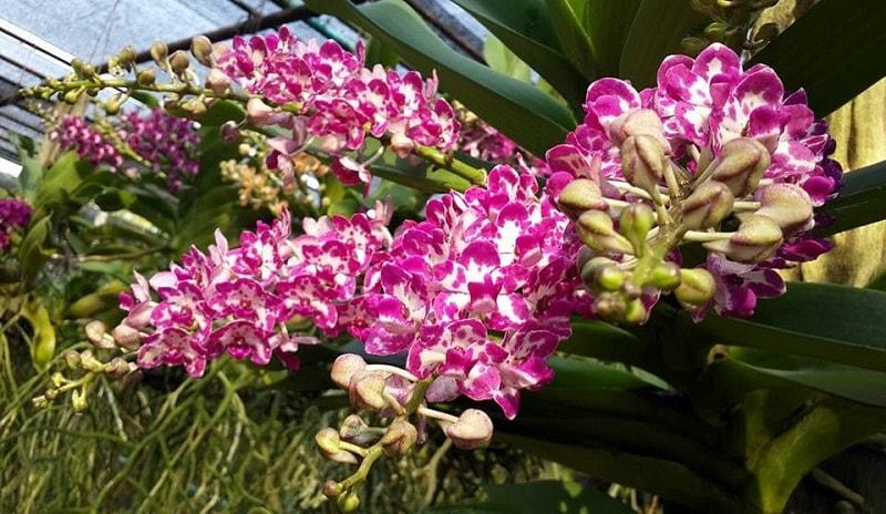 lan đai trâu ra hoa màu sắc tuyệt vời