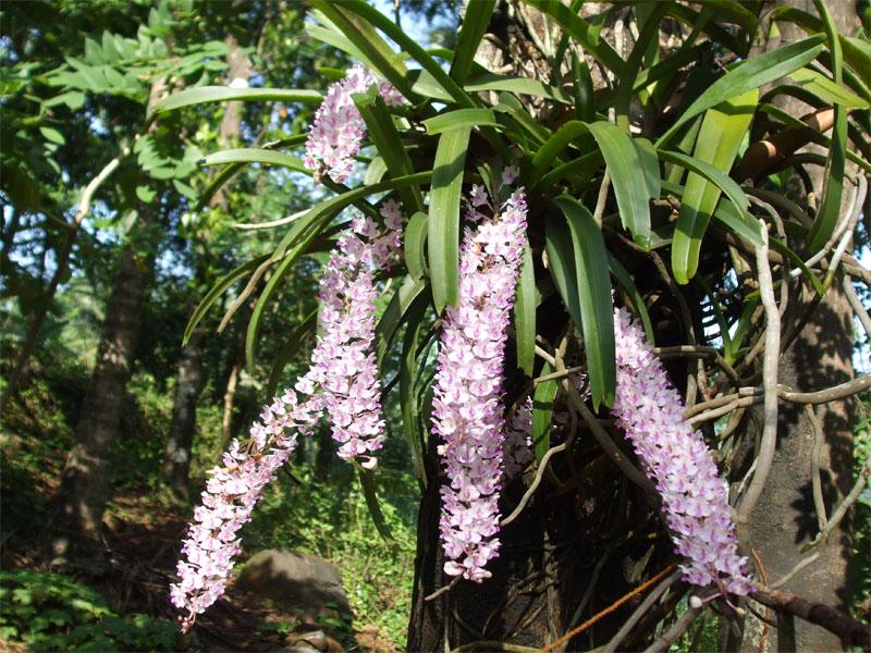 sử lý cho lan đuôi chồn ra hoa