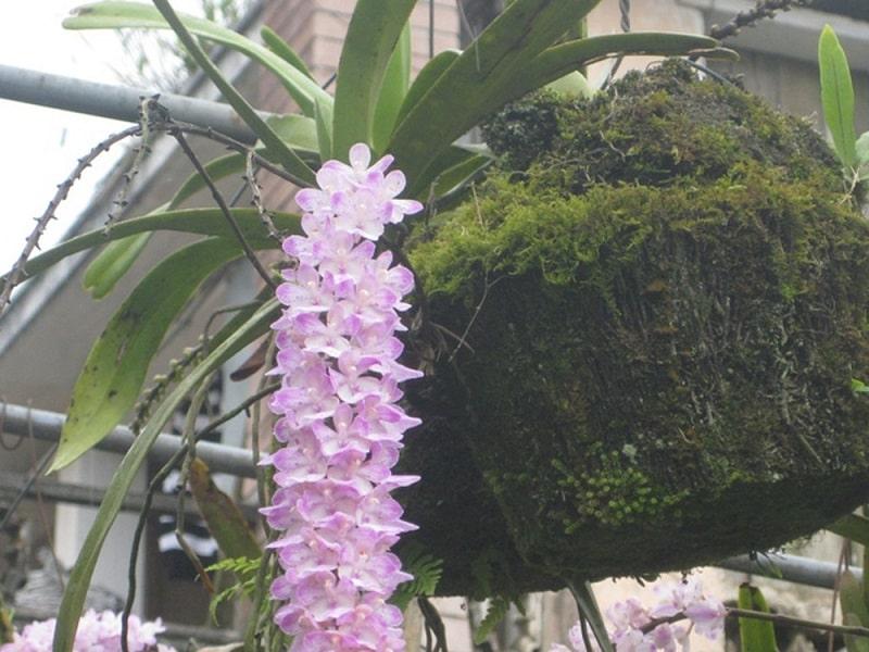 Đặc điểm nhận biết của lan đuôi chồn