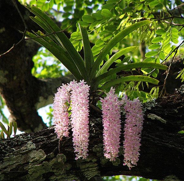 Đặc điểm nhận biết của lan đuôi chồn khi ra hoa