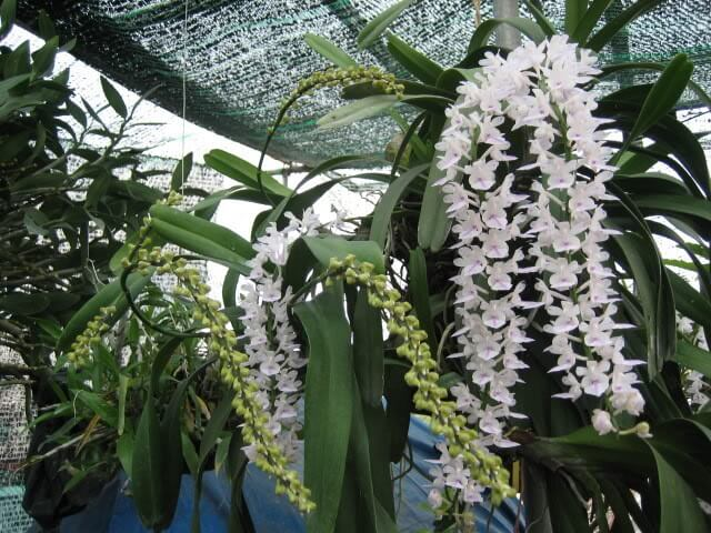 loài lan đuôi chuồn ra hoa tuyệt vời