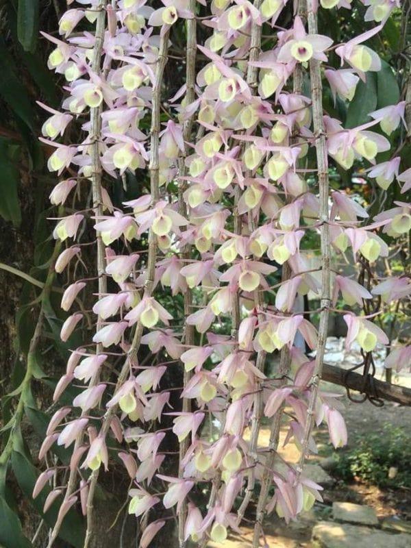 Cây lan hạc vỹ thường ra hoa từ tháng 4-8 hàng năm