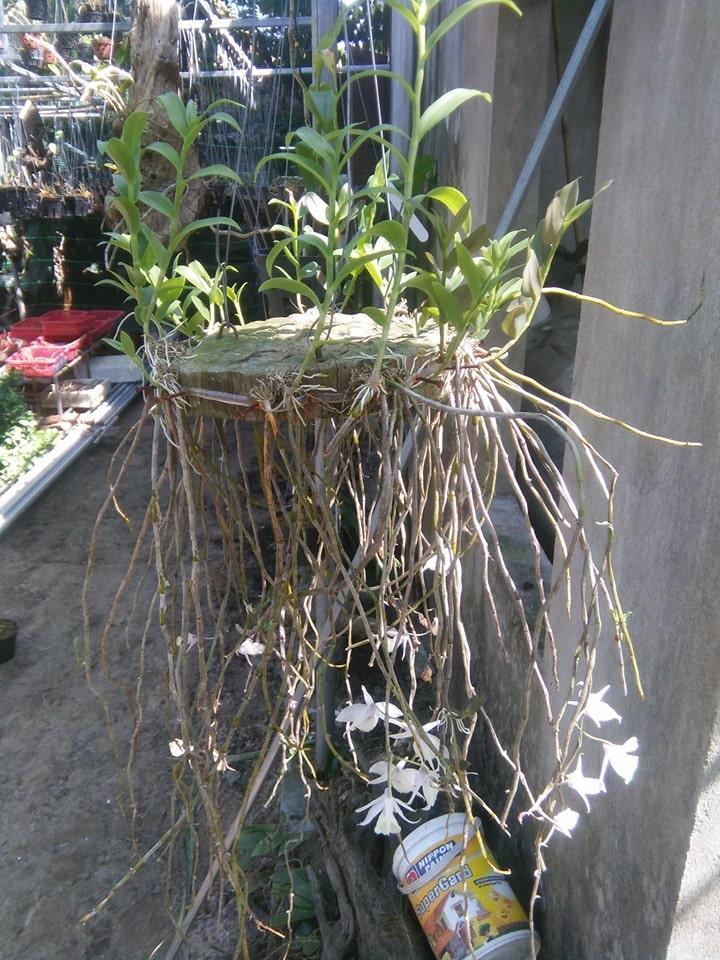 sau khi hoa tàn những đốt gần trên ngọn hoặc ở gần dưới gốc thường nẩy sinh ra những cây con (keiki)