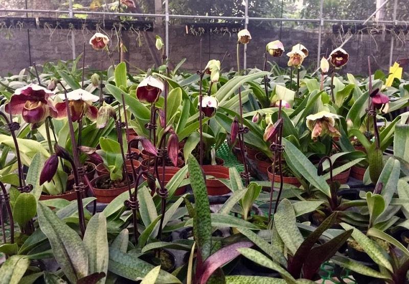 lan hài được trồng tại vườn