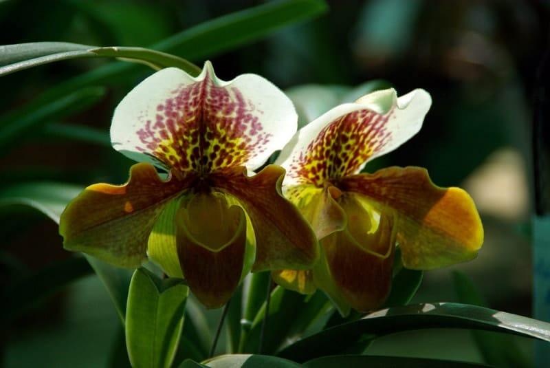 lan hài mặt hoa đẹp nhất