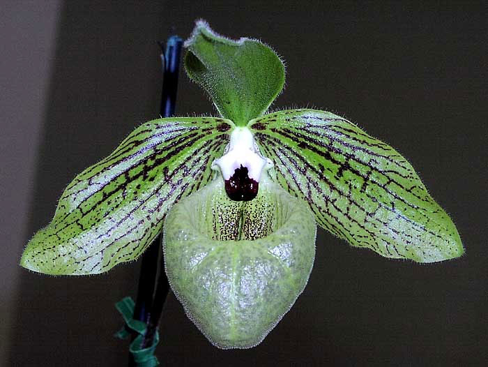 Lan hài mã lị Paphiopedilum malipoense