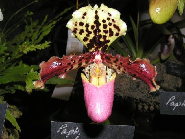 Lan hài henry Paphiopedilum henryanum