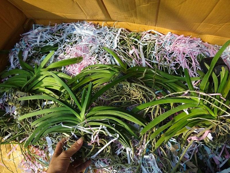 cây hoa lan hải yến xuất bán