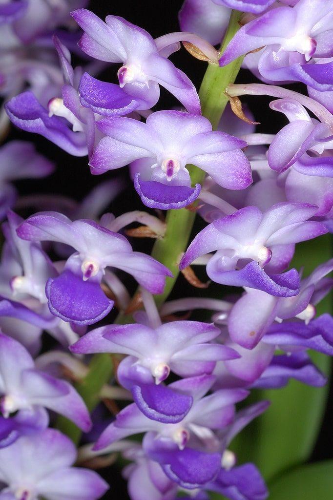 hoa lan hải yến rực rỡ
