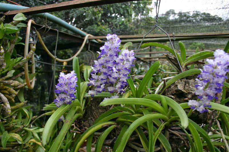 hoa lan hải yến nở sớm ban mai