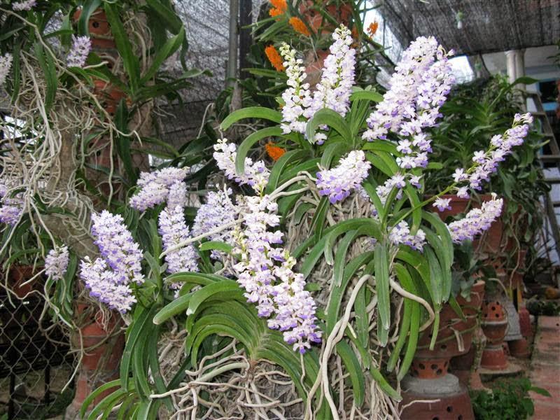 lựa chọn hoa lan hải yến ra hoa đẹp
