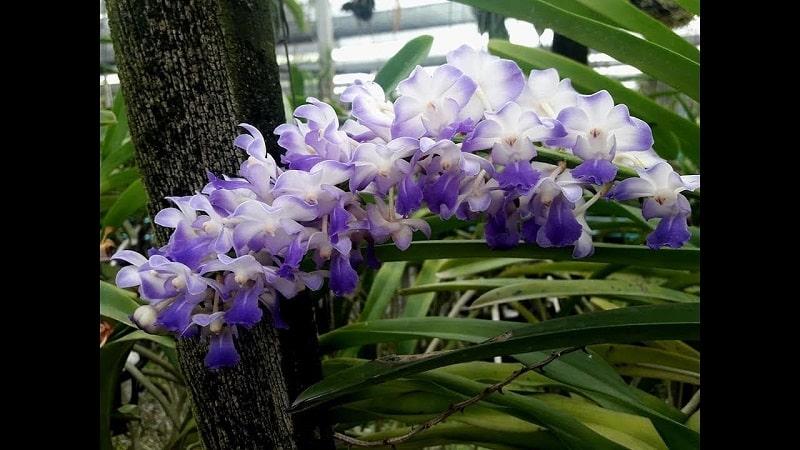 bông hoa lan hải yên trồng năm 2 và năm 3
