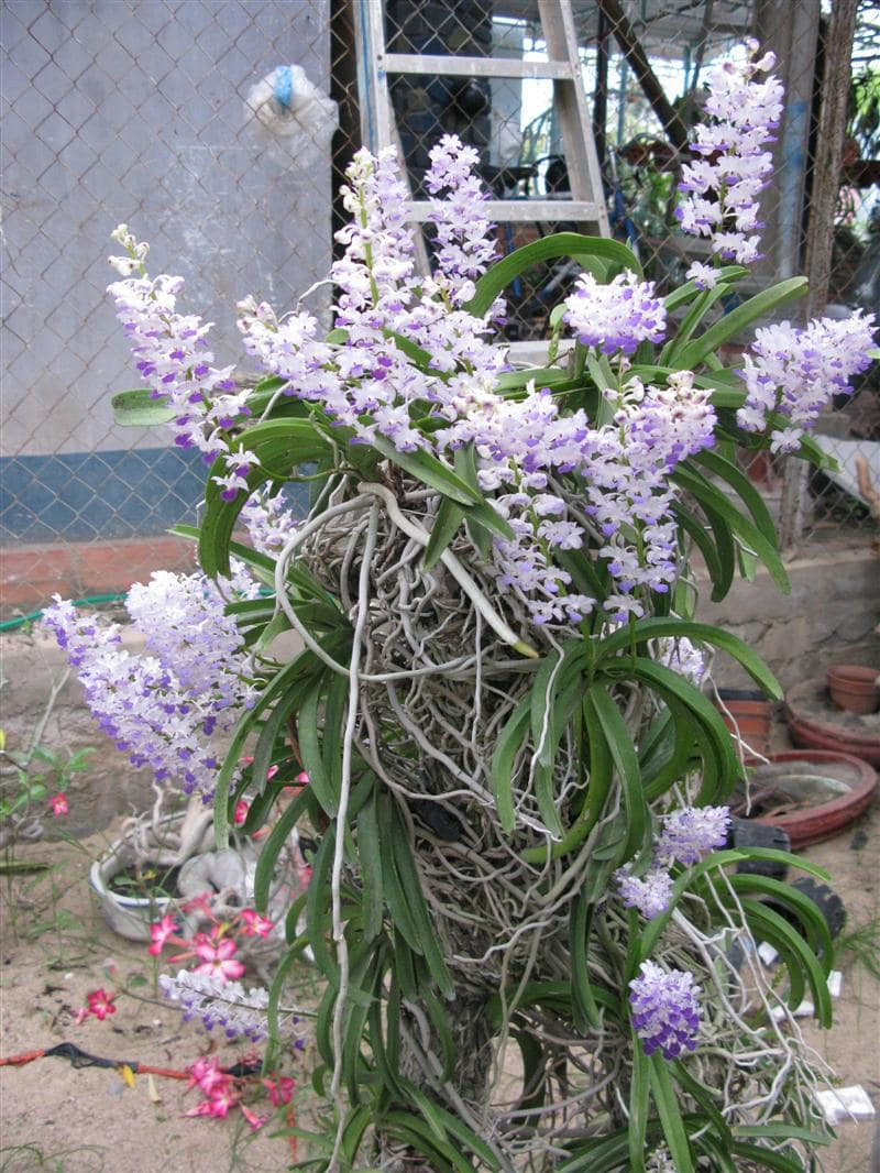 cây hoa lan hải yến khoe sắc thắm