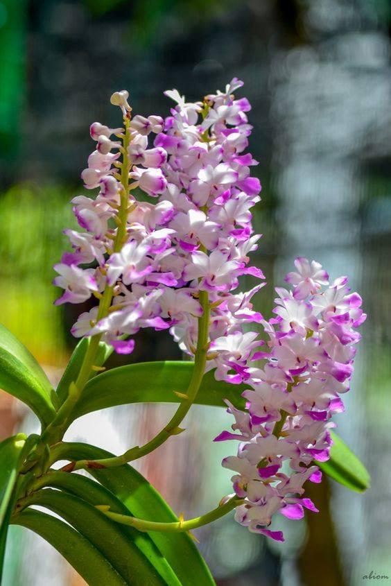 cây hoa lan hải yến nở hoa tuyệt vời