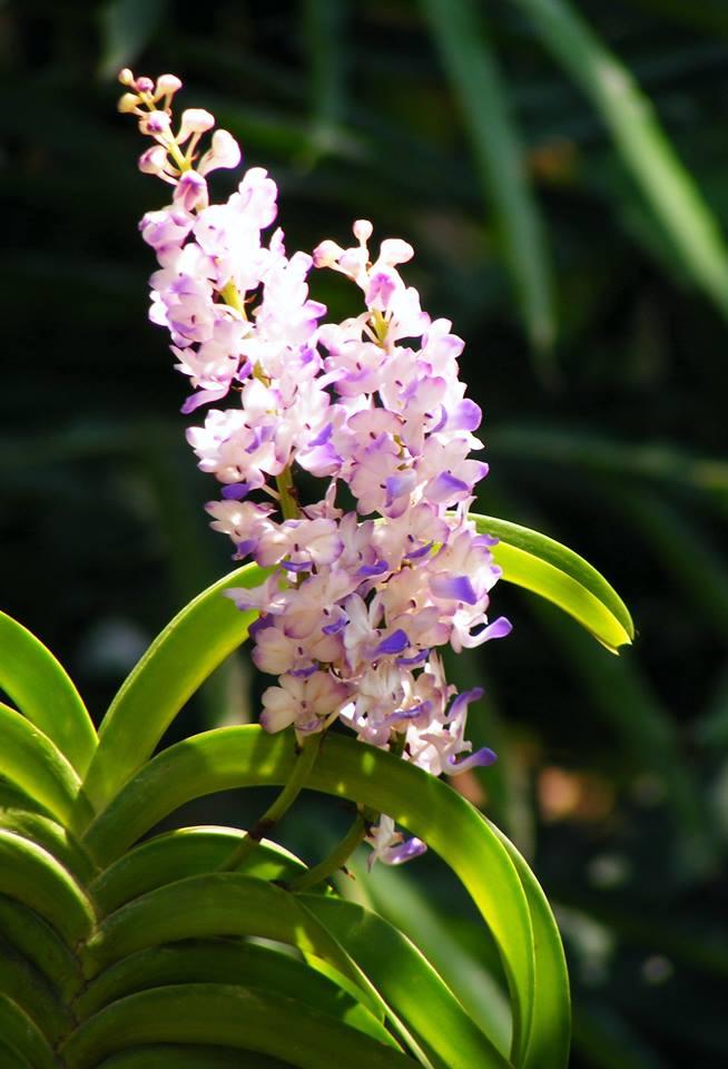 hoa lan hải yến màu sắc tươi mới