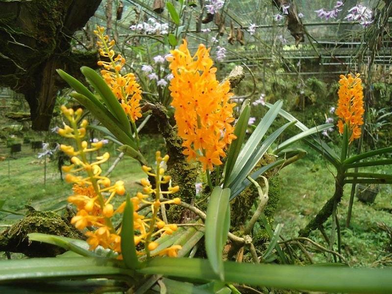 Lan hỏa hoàng cam nở tươi đẹp