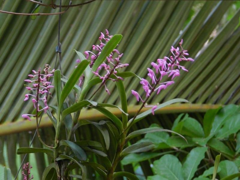 những bông Hoàng Yến tím đẹp nhất luôn nở hoa