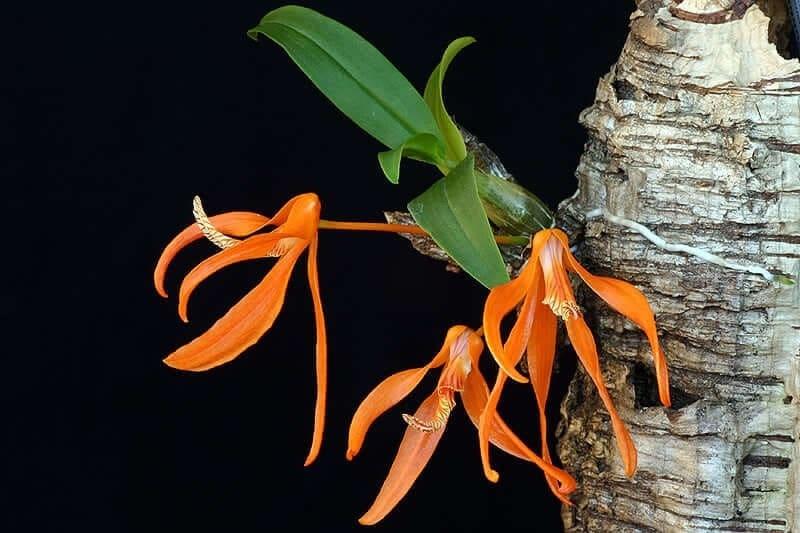 lan đơn cam ra hoa mới