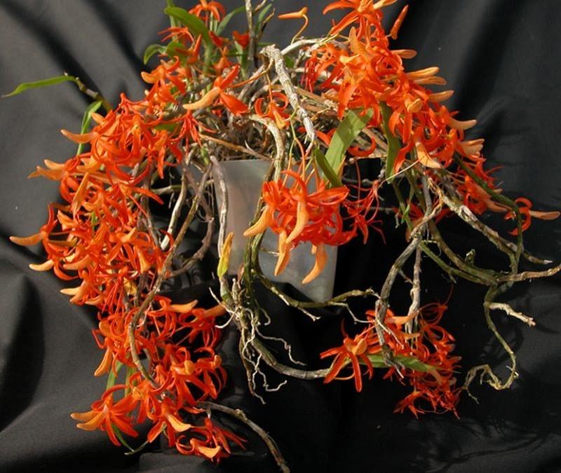những cây lan đơm cam mới khỏe mạnh