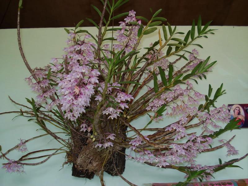 Lan Hoàng thảo thập hoa, Cách chăm sóc- Dendrobium aduncum