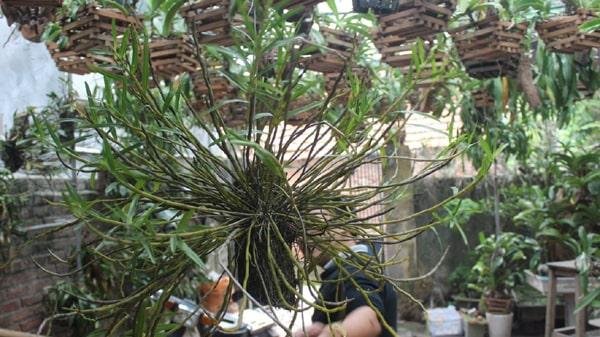 bụi lan hoàng thảo thập hoa lớn bóc rừng