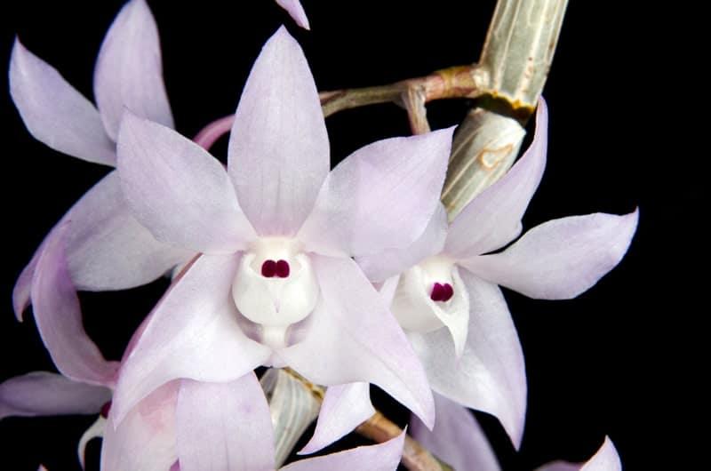 Những bông hoa lan hoàng thảo thập hoa