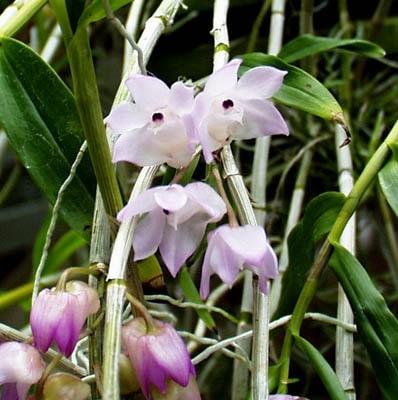 Đặc điểm và điều kiện sinh trưởng của lan hoàng thảo thập hoa