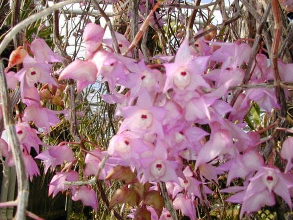 hoa lan hoàng thảo thập hoa ra nhiều vào mùa hè