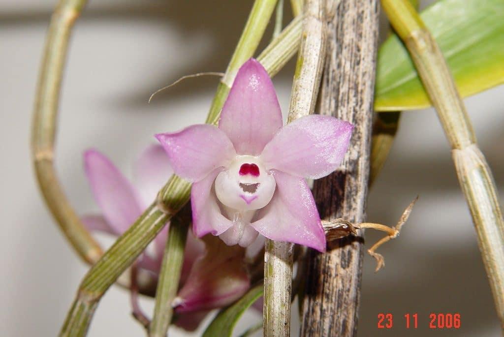 Cây lan hoàng thảo thập hoa