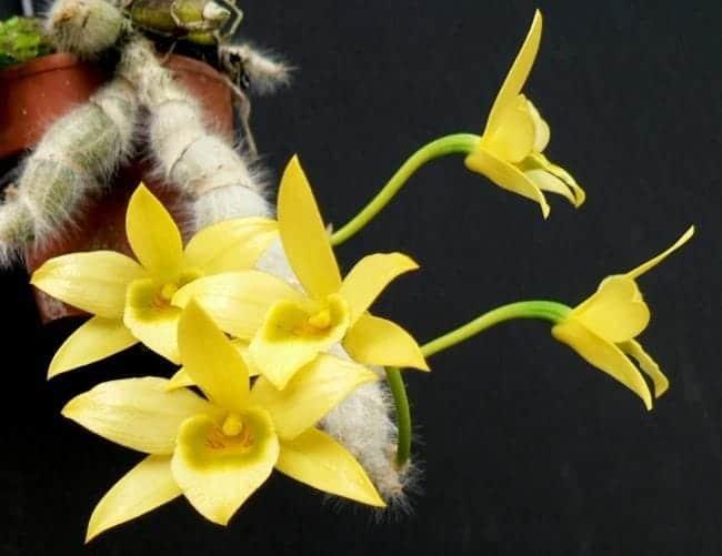 hoàng thảo lông trắng nở hoa khác biệt