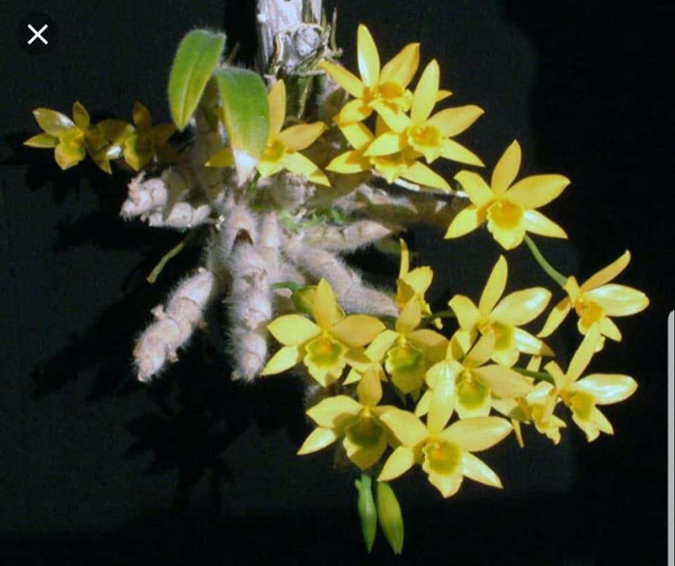 Hoàng thảo lông trắng - Dendrobium senile sưu tầm