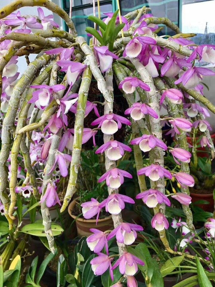 lan hoàng thảo vôi tuyệt đẹp
