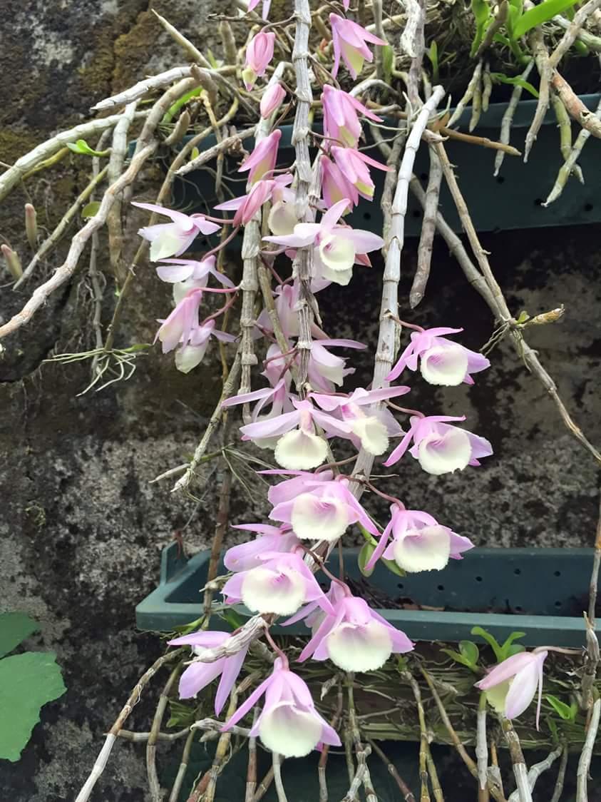 hoa lan hoàng thảo vôi khoe sắc