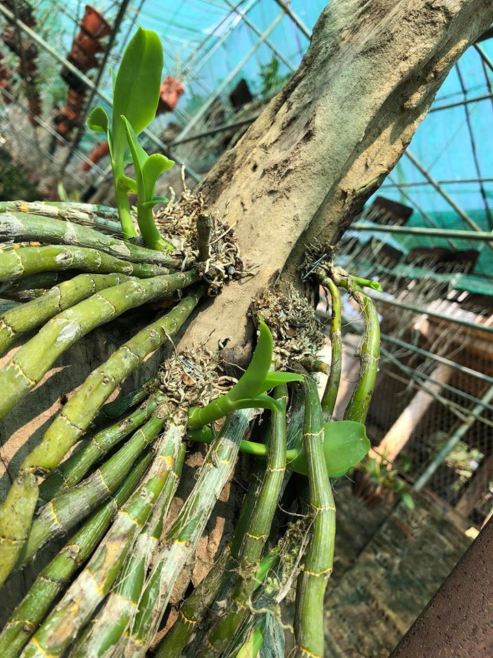 Đặc điểm sinh trưởng của cây lan hoàng thảo vôi