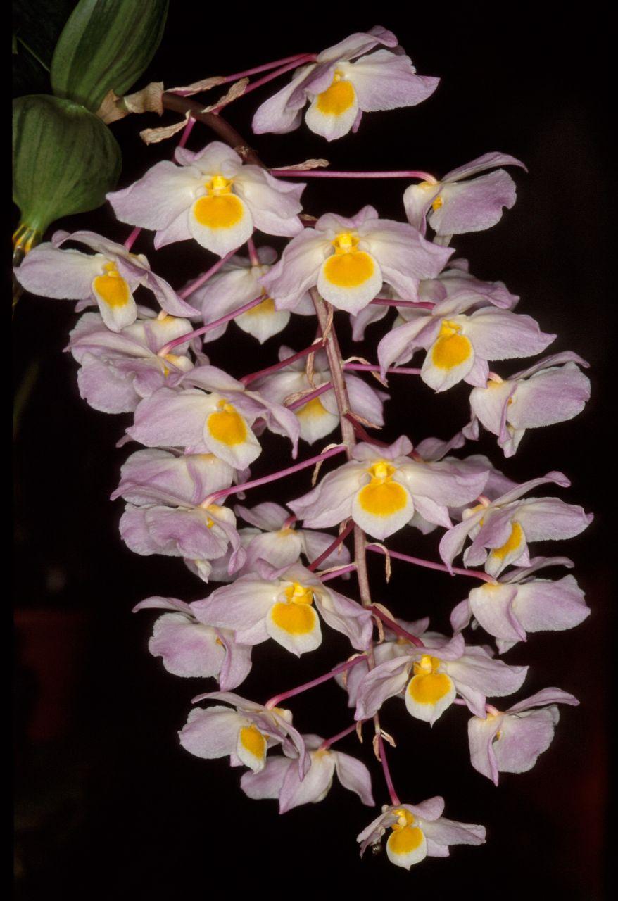 lan kiều nở vòi hoa dài