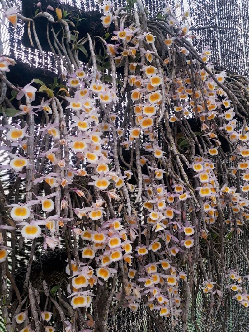 những cây lan long tu trồng trên dớn